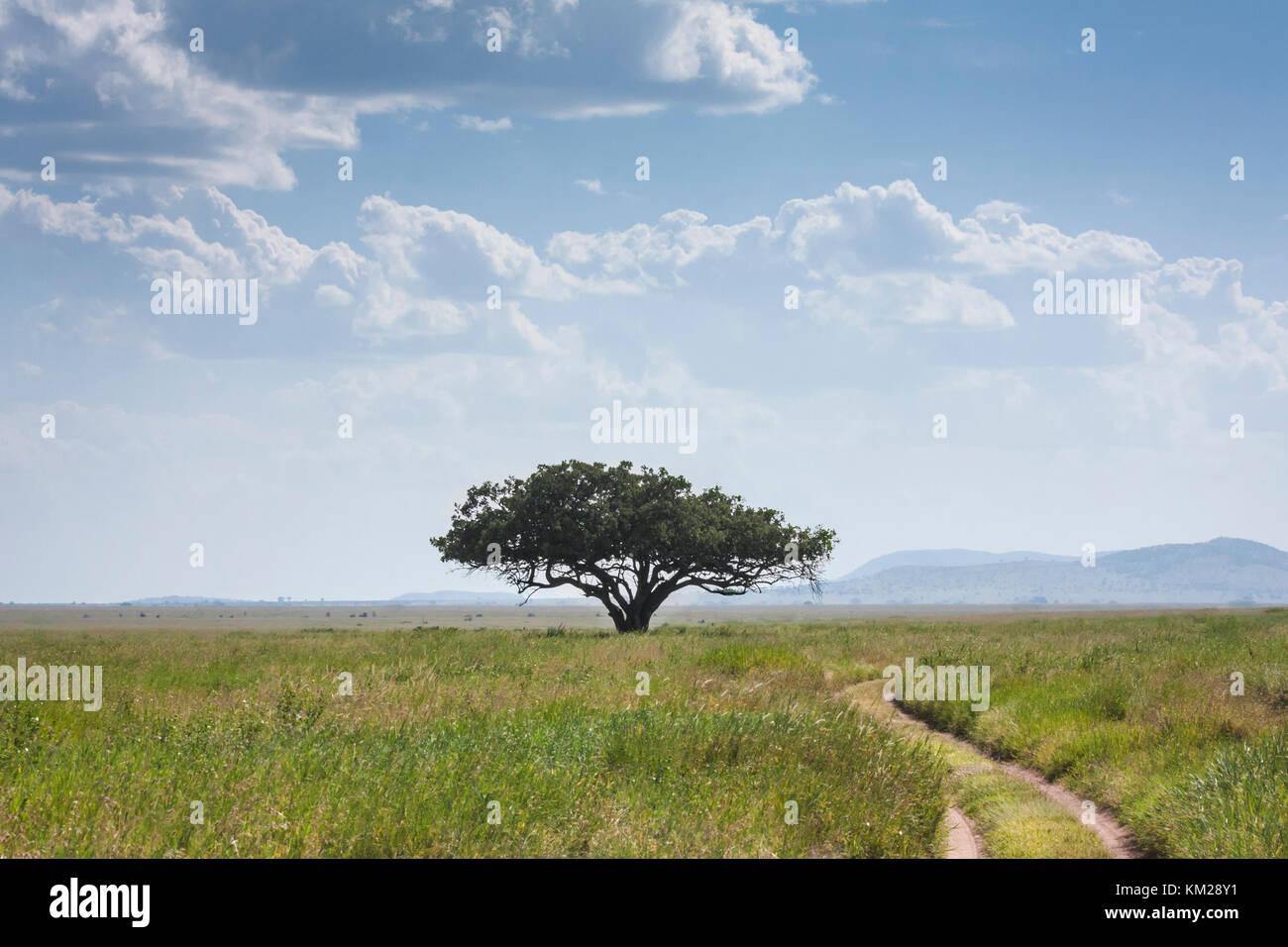 Acacia contra un cielo nublado en el Serengeti, Tanzania, África Foto de stock