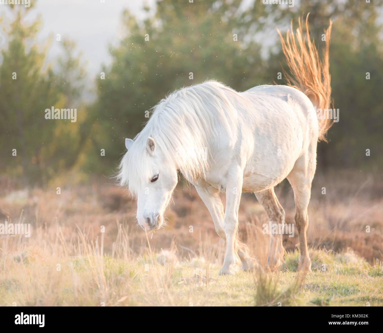 Caballo blanco - semental y atardecer paisaje andaluz Imagen De Stock