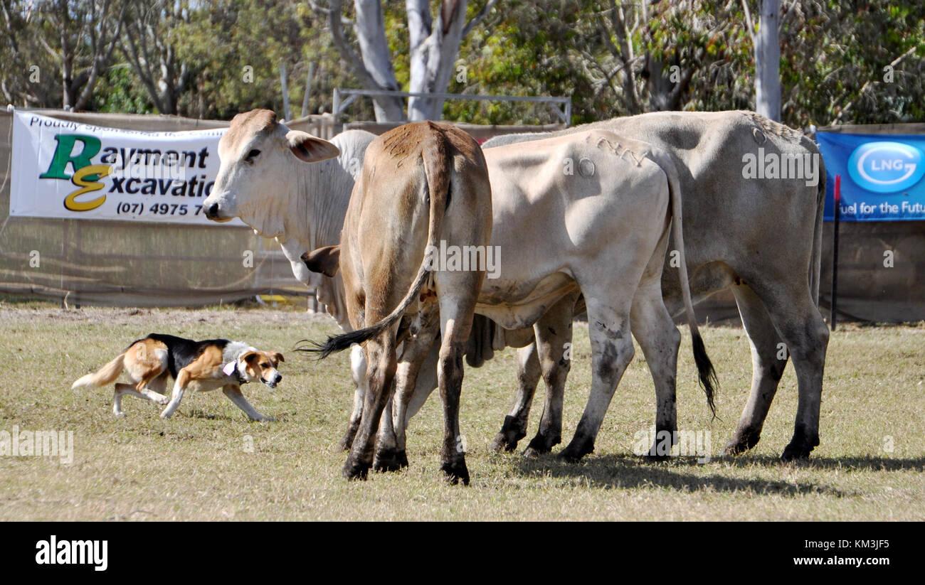 Los perros de ganado en el trabajo redondeo ganado Foto de stock