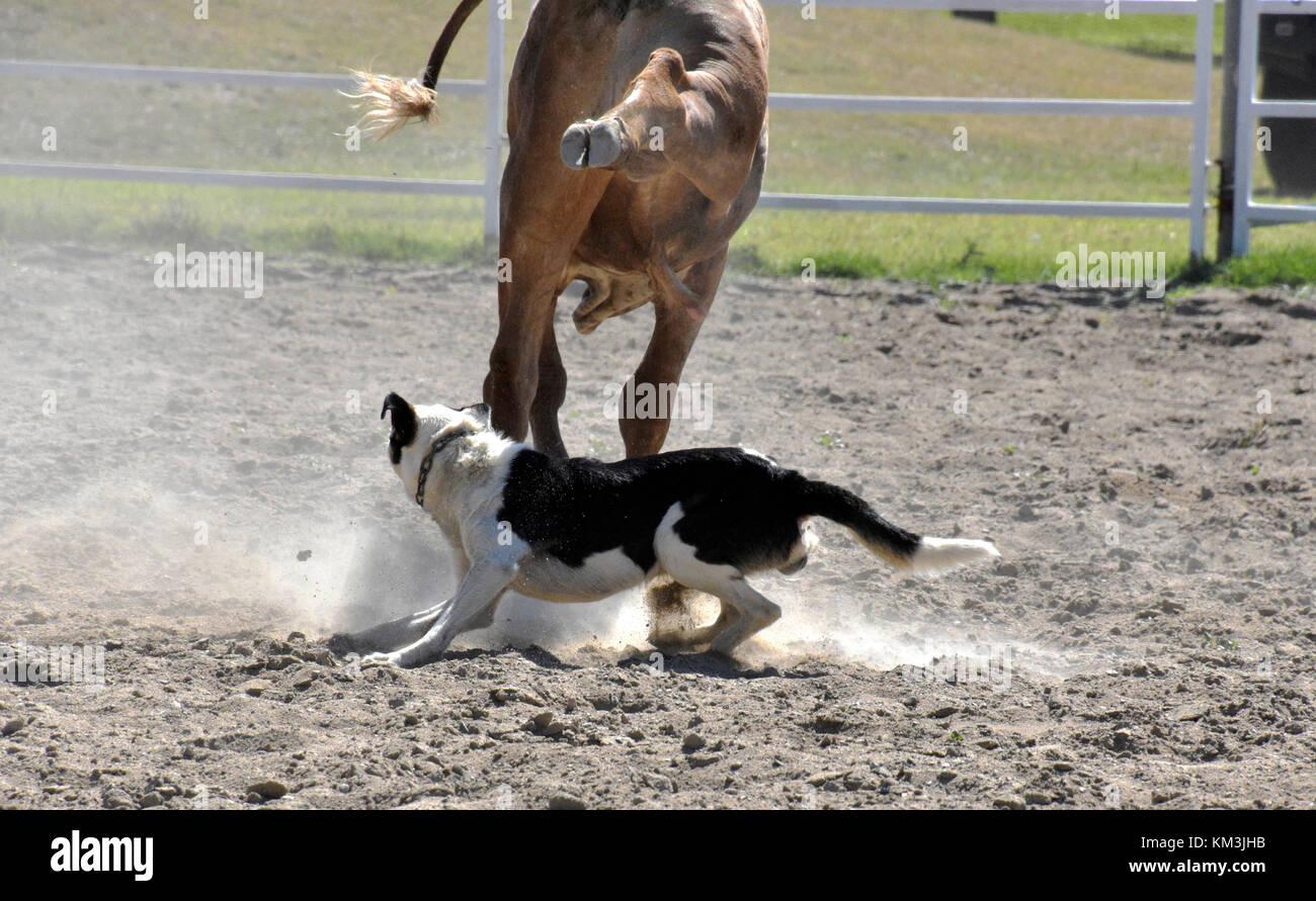 Los perros de ganado en el trabajo REDONDEO GANADO EN AUSTRALIA Imagen De Stock