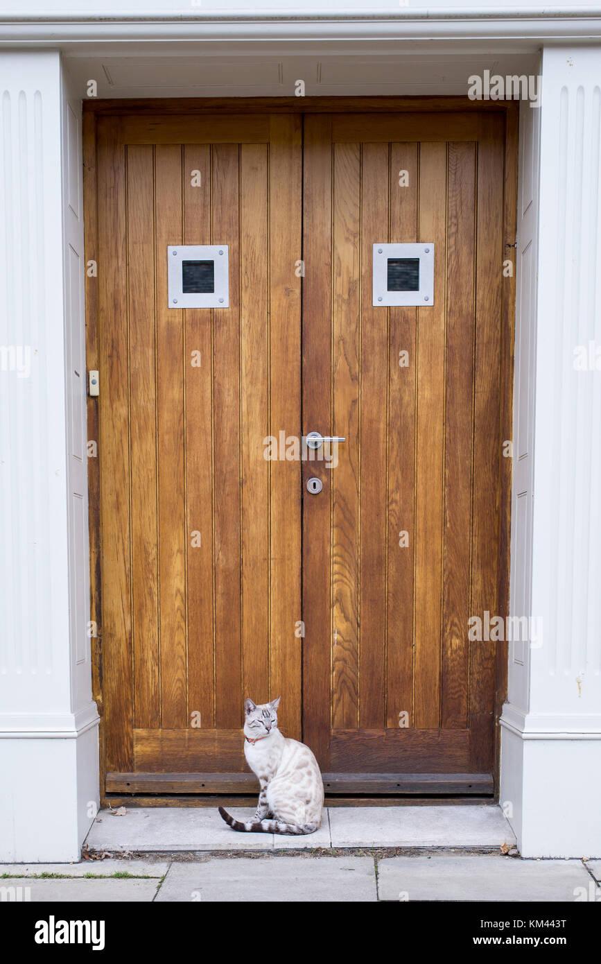 Gato de Bengala gato blanco luciendo el collar de Bell, sentado frente a una puerta de madera Foto de stock