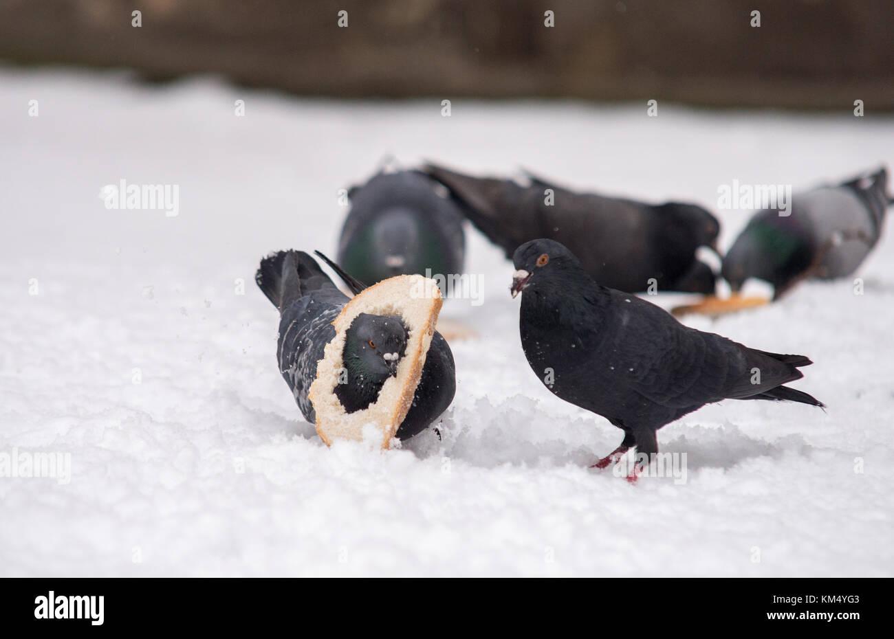 Clsose en dos palomas luchando por alimento en invierno Imagen De Stock