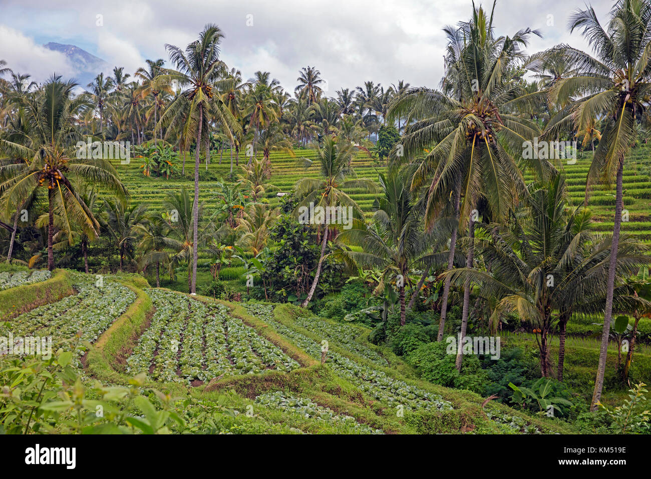 Los cocoteros y los repollos cultivados en terrazas en las laderas del volcán rinjani, en la isla de Lombok, Imagen De Stock