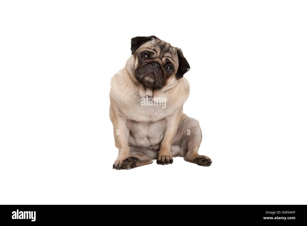 Lindo perrito pug inteligente con cheecky cara, sentarse, aislado sobre fondo blanco. Imagen De Stock