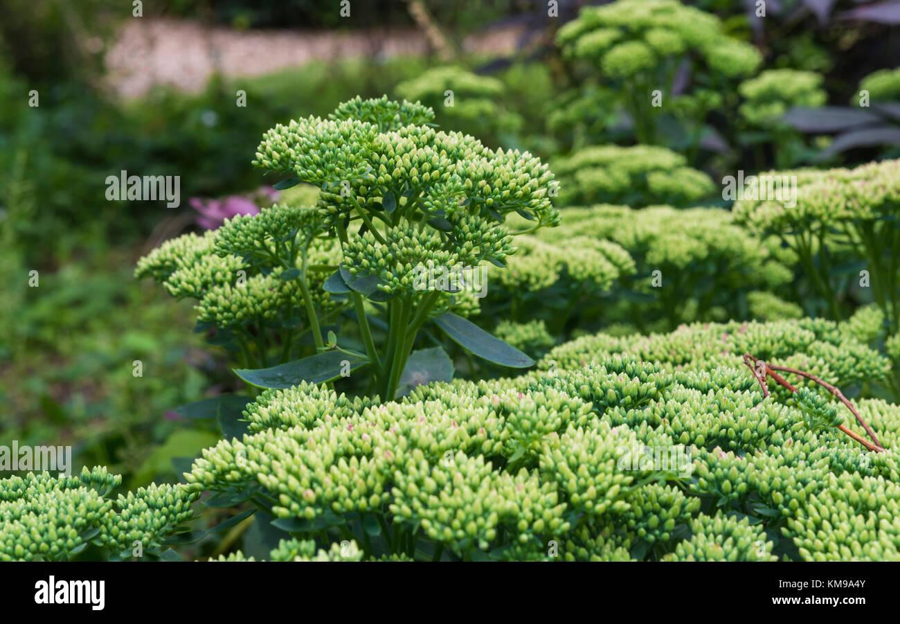Desarrollar cabezas de flores de Sedum spectabile planta en verano en West Sussex, Inglaterra, Reino Unido. Imagen De Stock