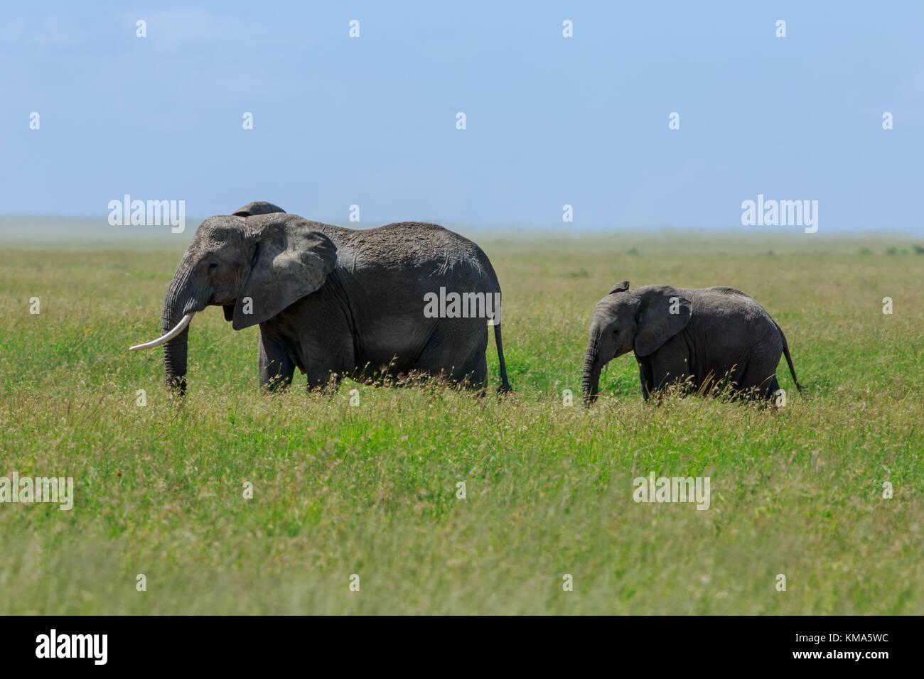 Madre elefante africano con un ternero Foto de stock