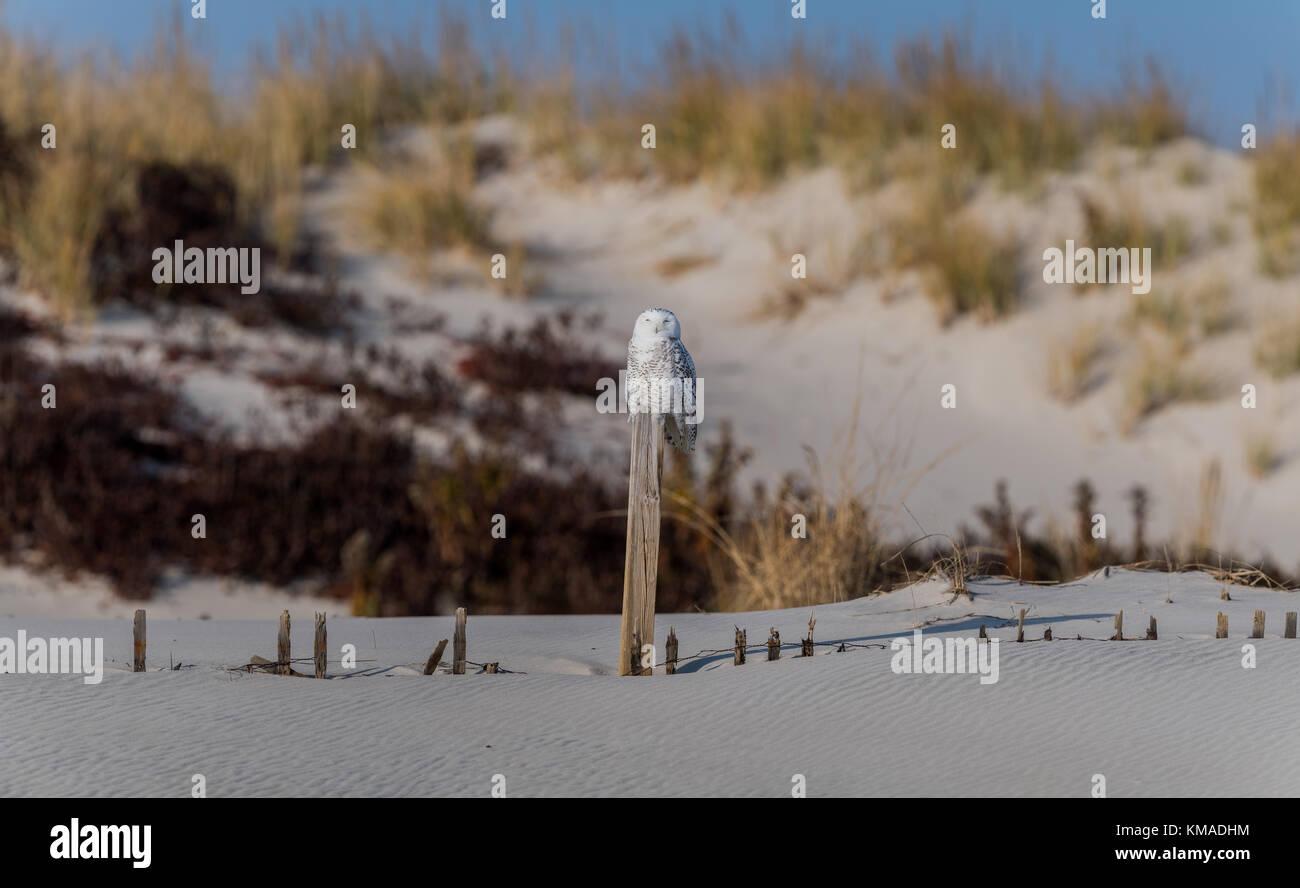 Un búho nival en la costa de Jersey Imagen De Stock