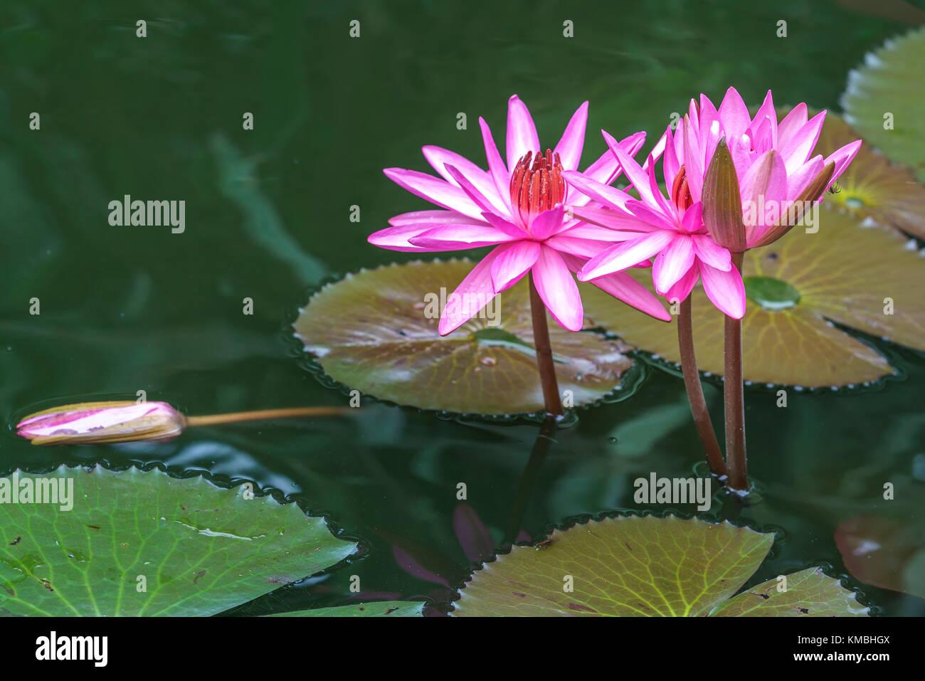 Waterlily closeup blooming rosa en el lago, esta es una flor florece en el pantano y sólo florece en la mañana Imagen De Stock