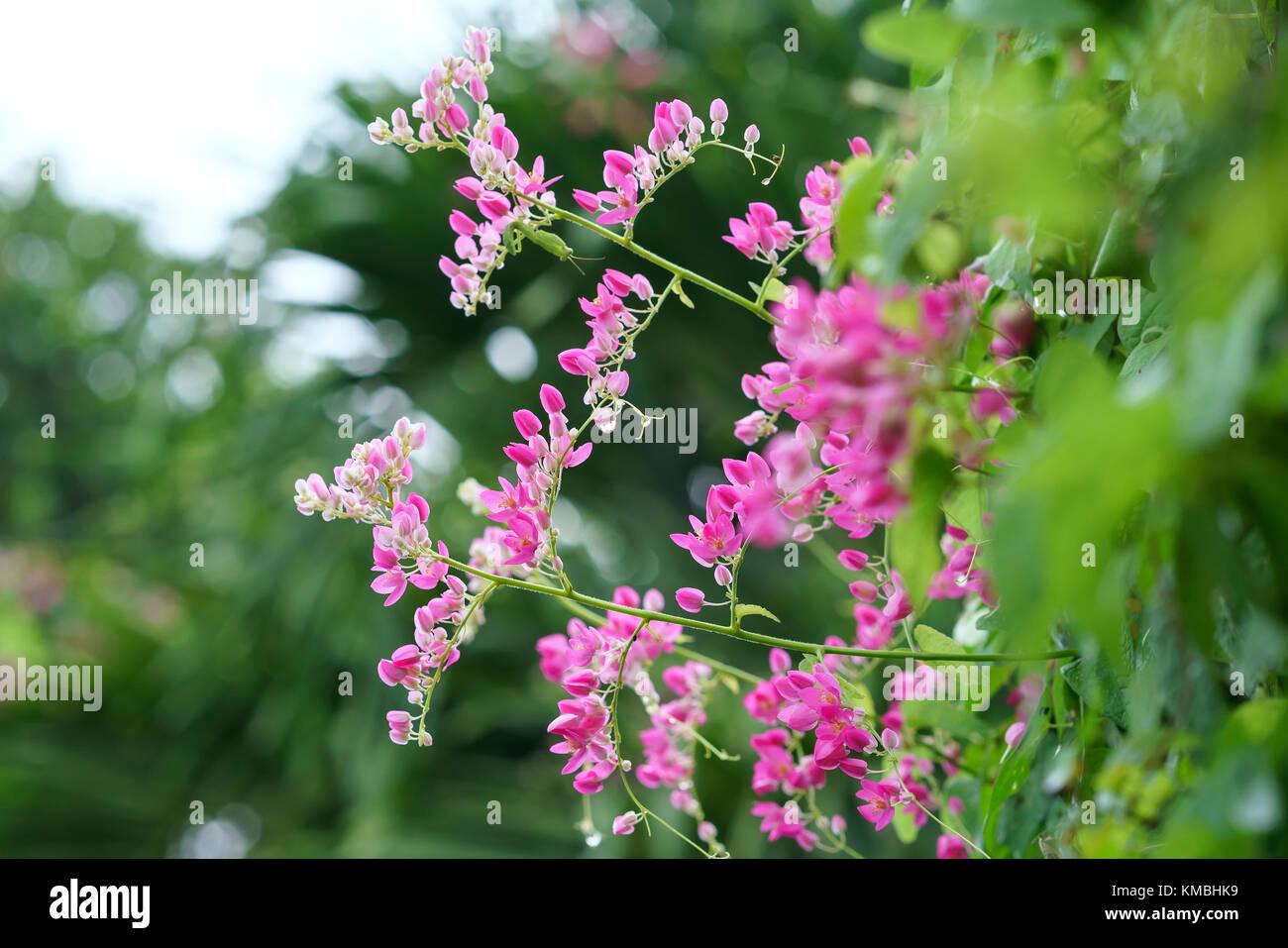 La Antigonon leptopus florece en el jardín, este es un blanco ...