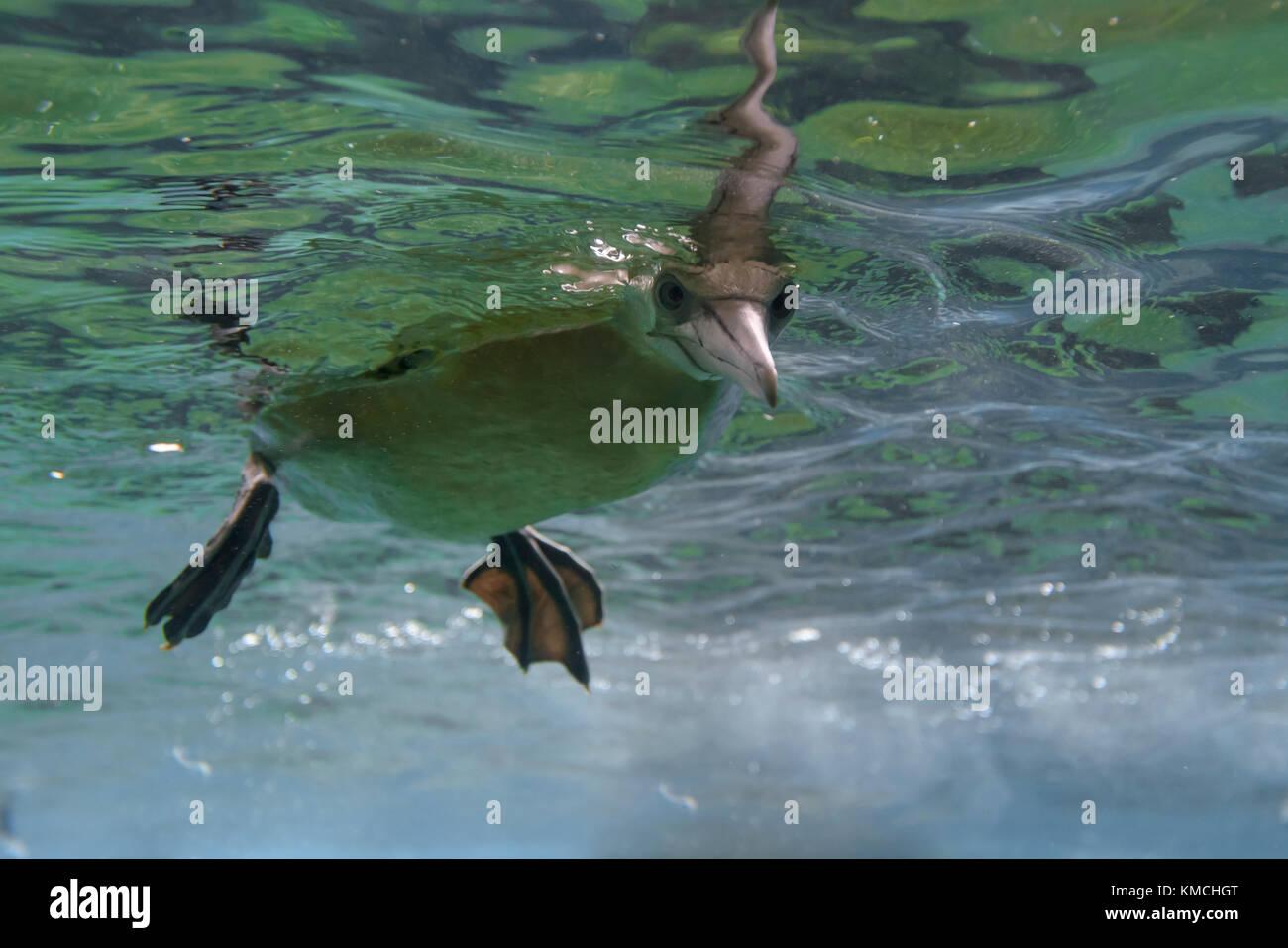 Basstoelpel, Morus bassanus, Norte de Gannett Foto de stock