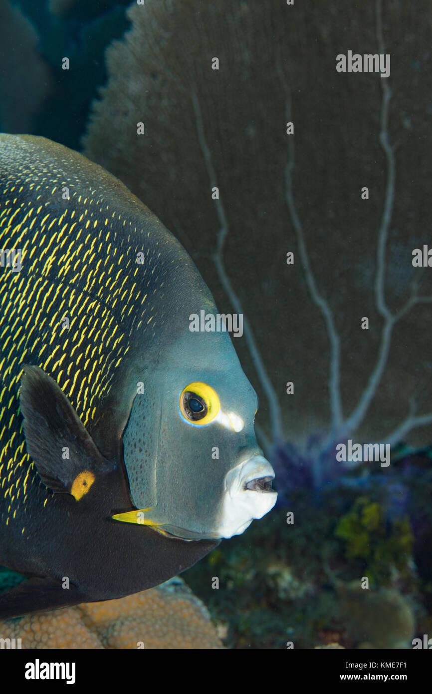 El pez ángel francés inquisitivo, ISLAS CAIMÁN Foto de stock