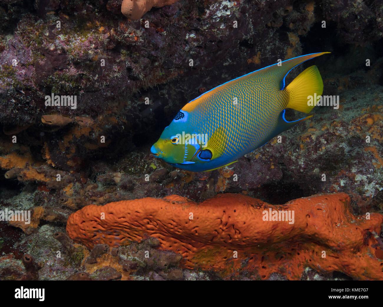 El pez ángel reina (holacanthus ciliaris) Foto de stock
