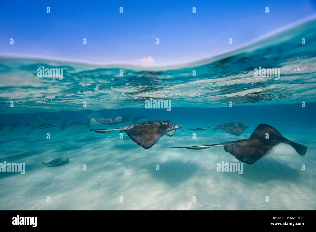 Fotografiar pastinaca americana en el sitio de buceo conocido como Arena Foto de stock