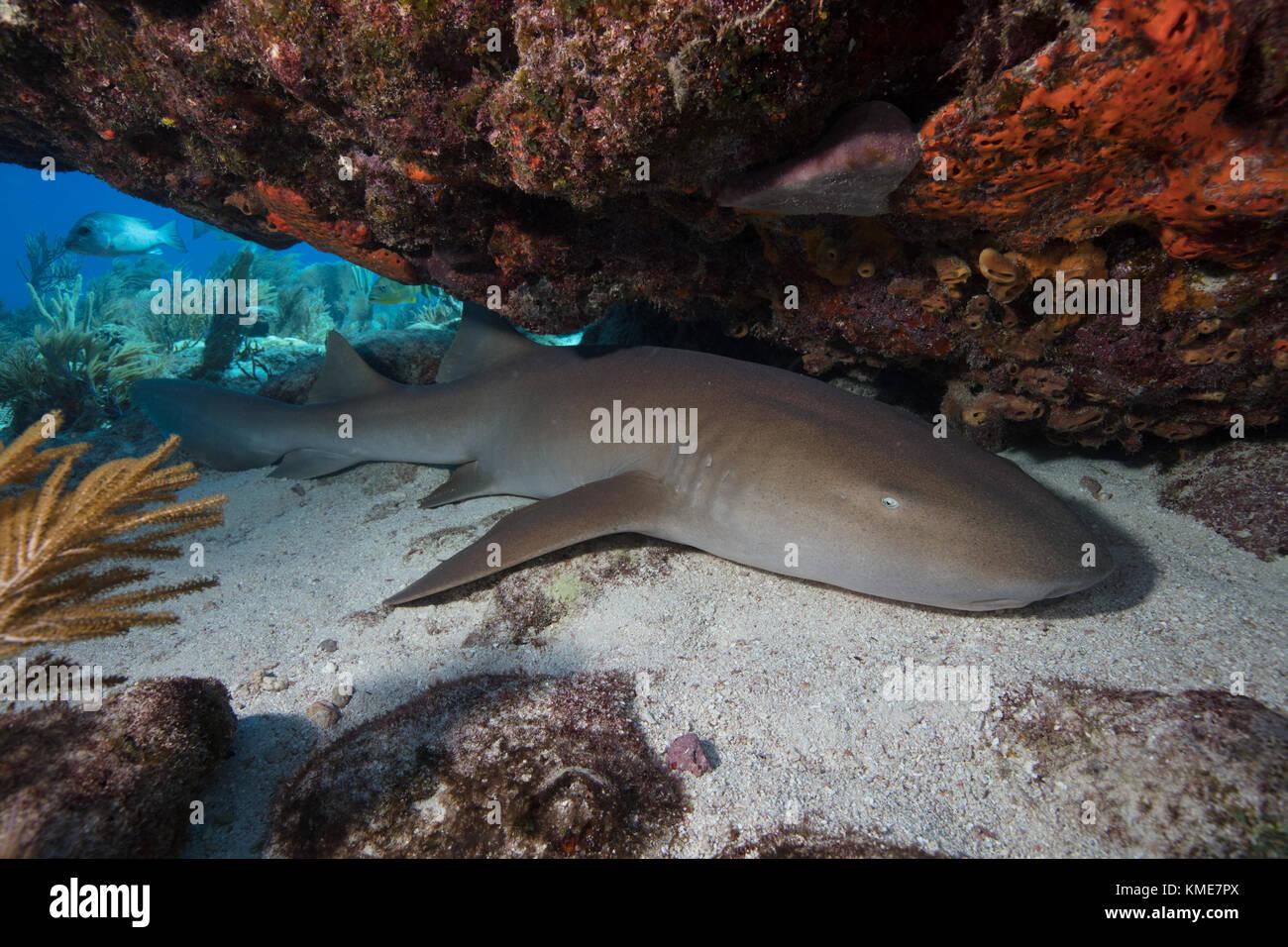 Un tiburón nodriza descansa sobre un fondo de arena bajo una cornisa de coral. Foto de stock