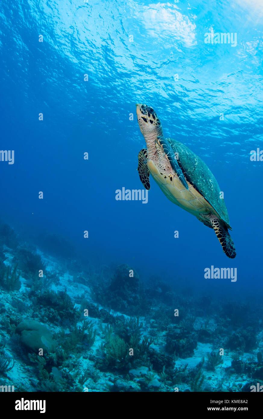 La tortuga carey, Glover's Reef Atoll Foto de stock