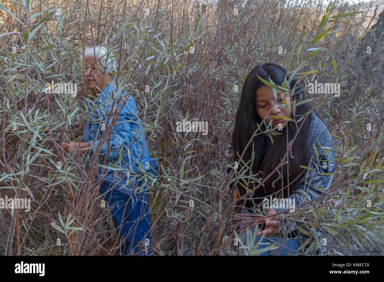 Dos miembros femeninos de los indios federados de graton rancheria recoger gris para la fabricación de cestos de Foto de stock