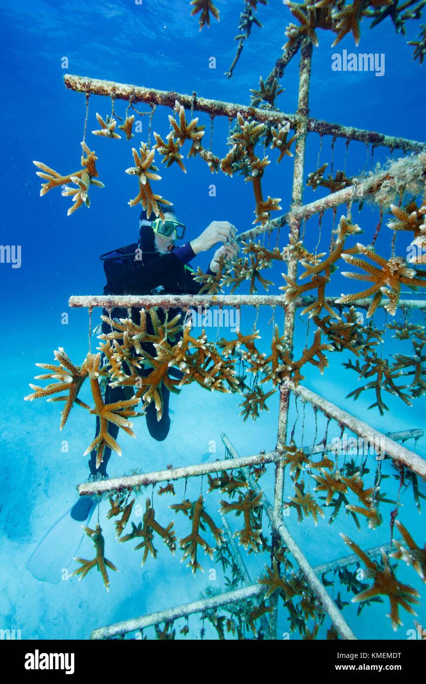 Fundador de la ACR tiende a coral vivero. Foto de stock