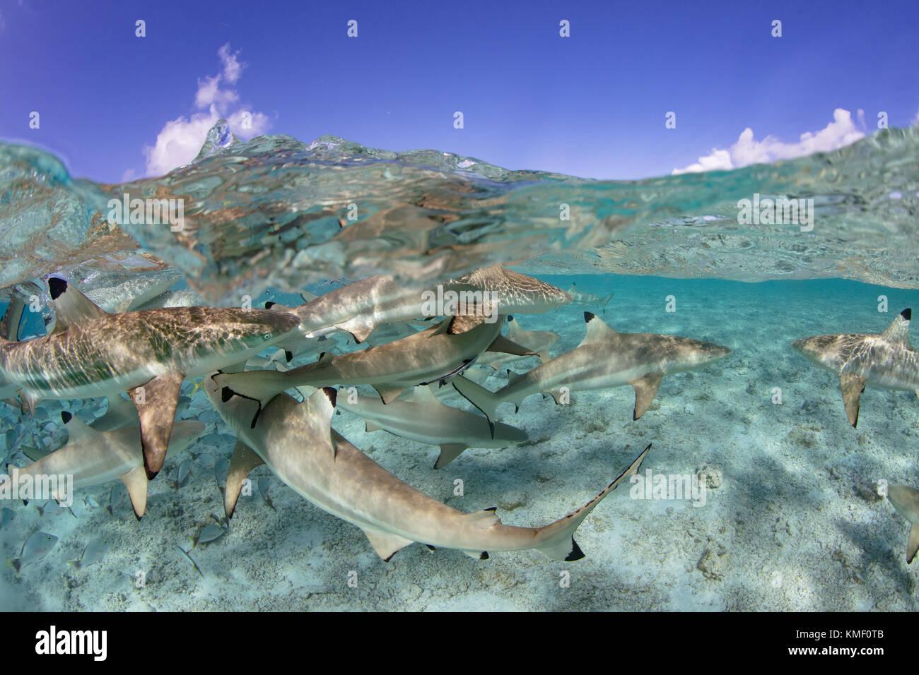 Over/under de Blacktip tiburones de arrecife en una laguna, en la Polinesia Francesa. Foto de stock