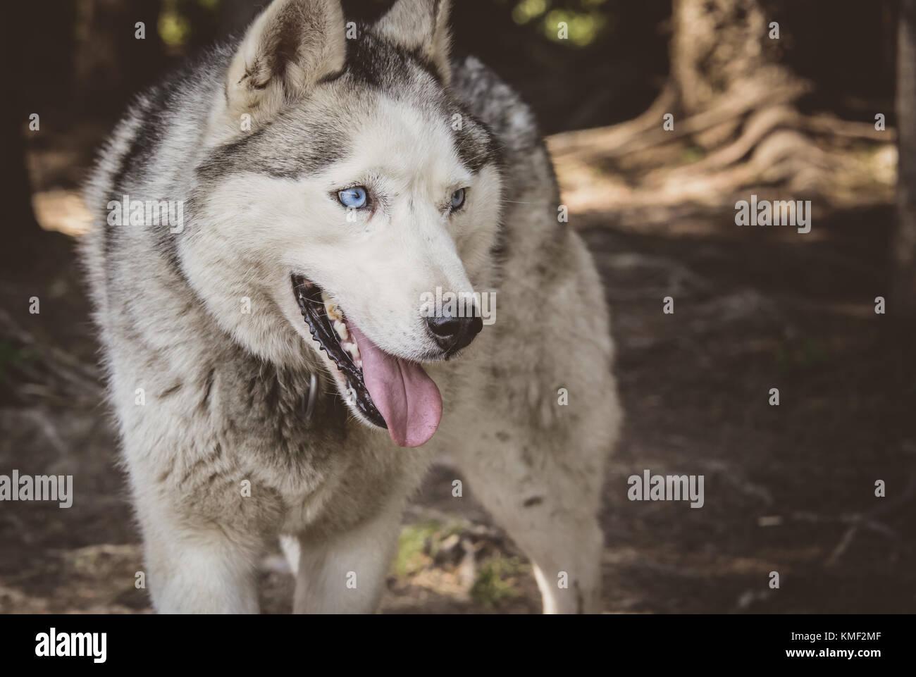 Perro husky siberiano sonriente en el verano Foto de stock