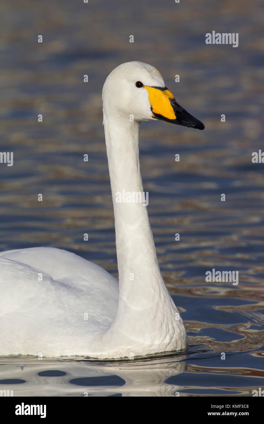 Close Up retrato de cisnes cantores (Cygnus cygnus) nadando en invierno Imagen De Stock