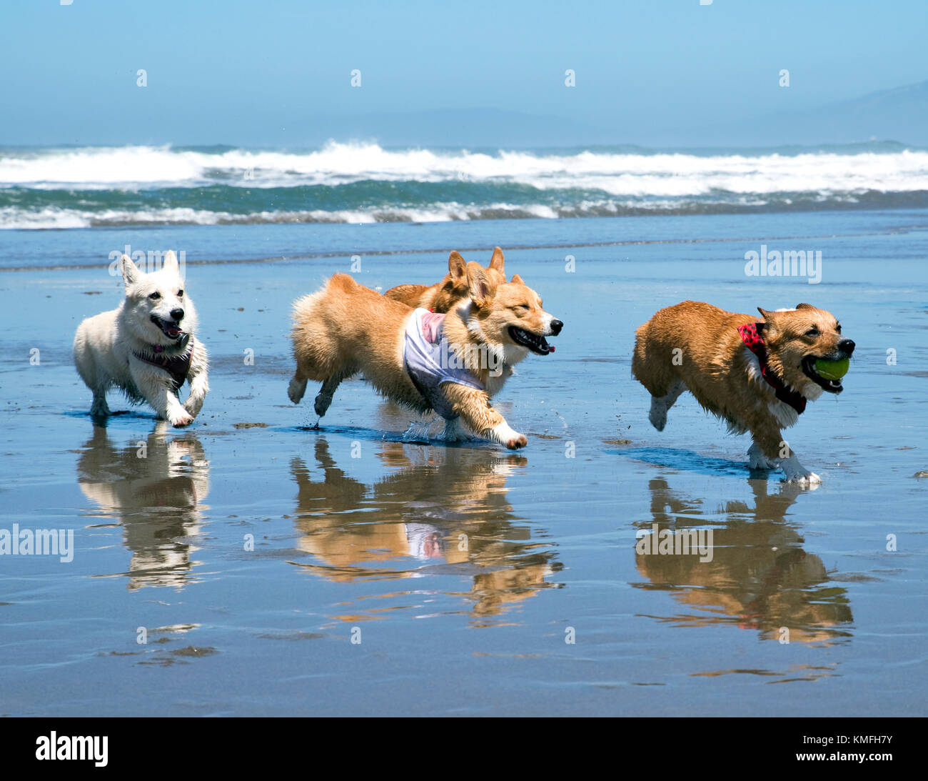Corgis acabando en la playa Foto de stock