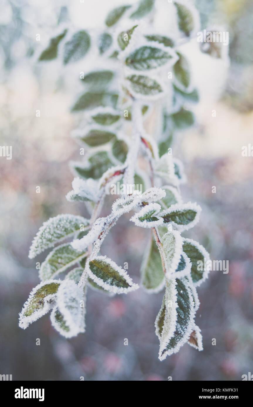 Primer plano de congelados sweetbrier hojas. Imagen De Stock