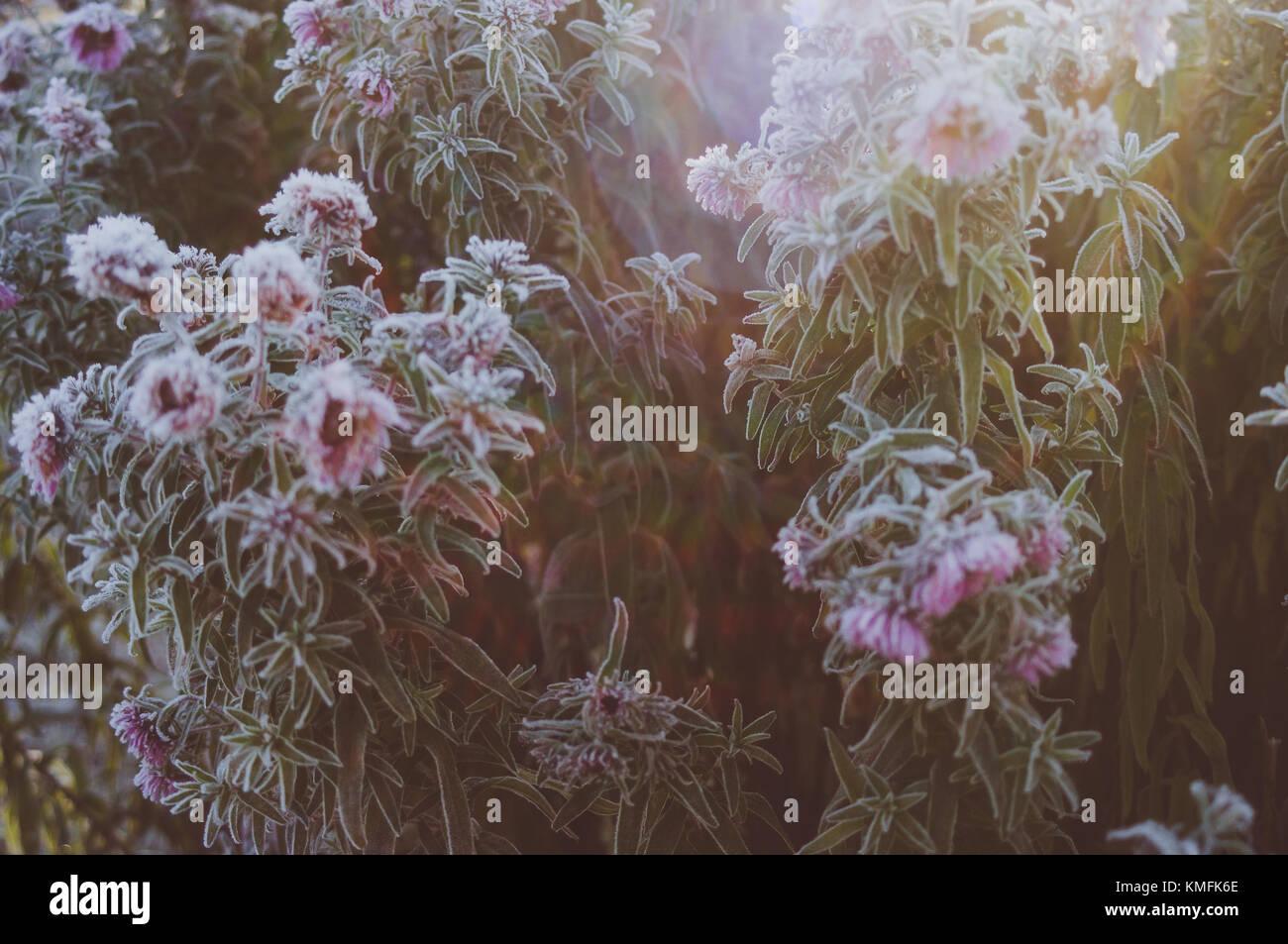 Los rayos del sol matutino en aster bouquet. Imagen De Stock