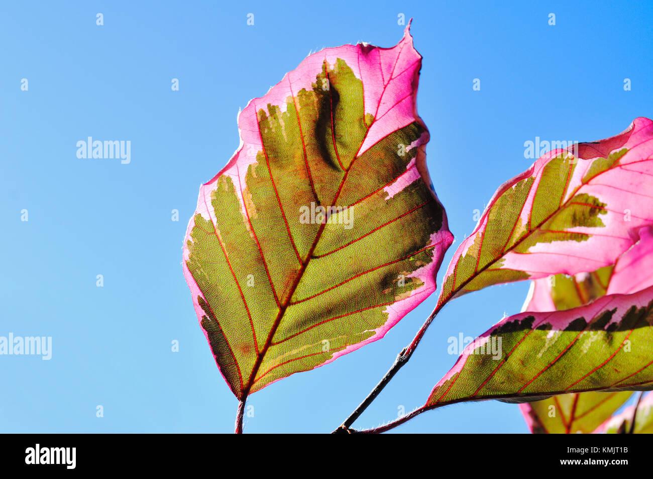 Tri color haya. patrón de hojas de color verde y rosa aislados contra el cielo azul. Imagen De Stock