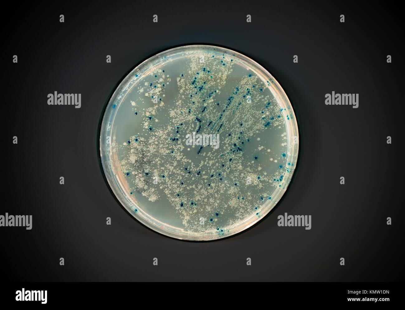 Placa de agar con colonias de bacterias para vector plasmídico clonación sobre fondo oscuro Foto de stock