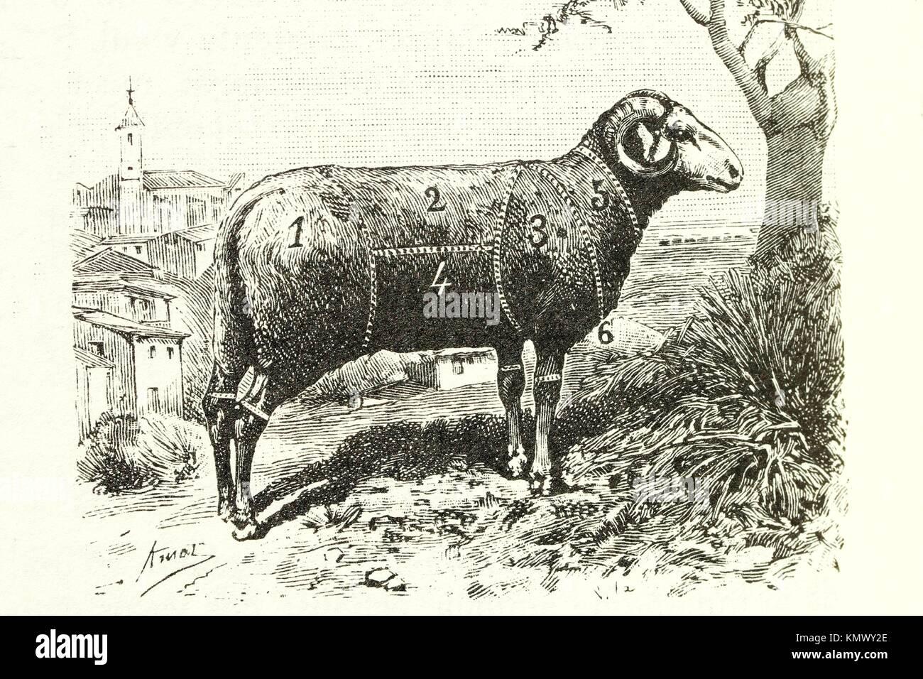 Cordero ilustración antiguos 1892 Imagen De Stock
