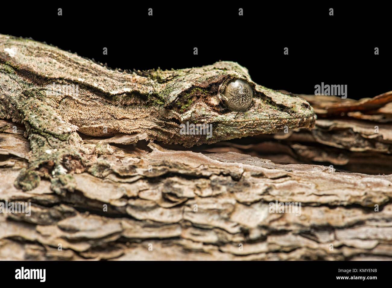 Gecko Uroplatus sikorae (Gekkonidae), en perfecto camuflaje con el tronco de un árbol endémico de Madagascar, Imagen De Stock