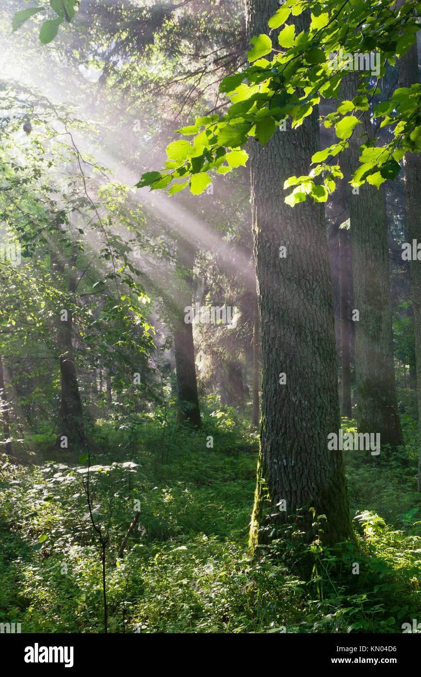 Sunbeam introducción ricos stand de caducifolios, provincia de Podlasie el bosque de Bialowieza, Polonia Foto de stock
