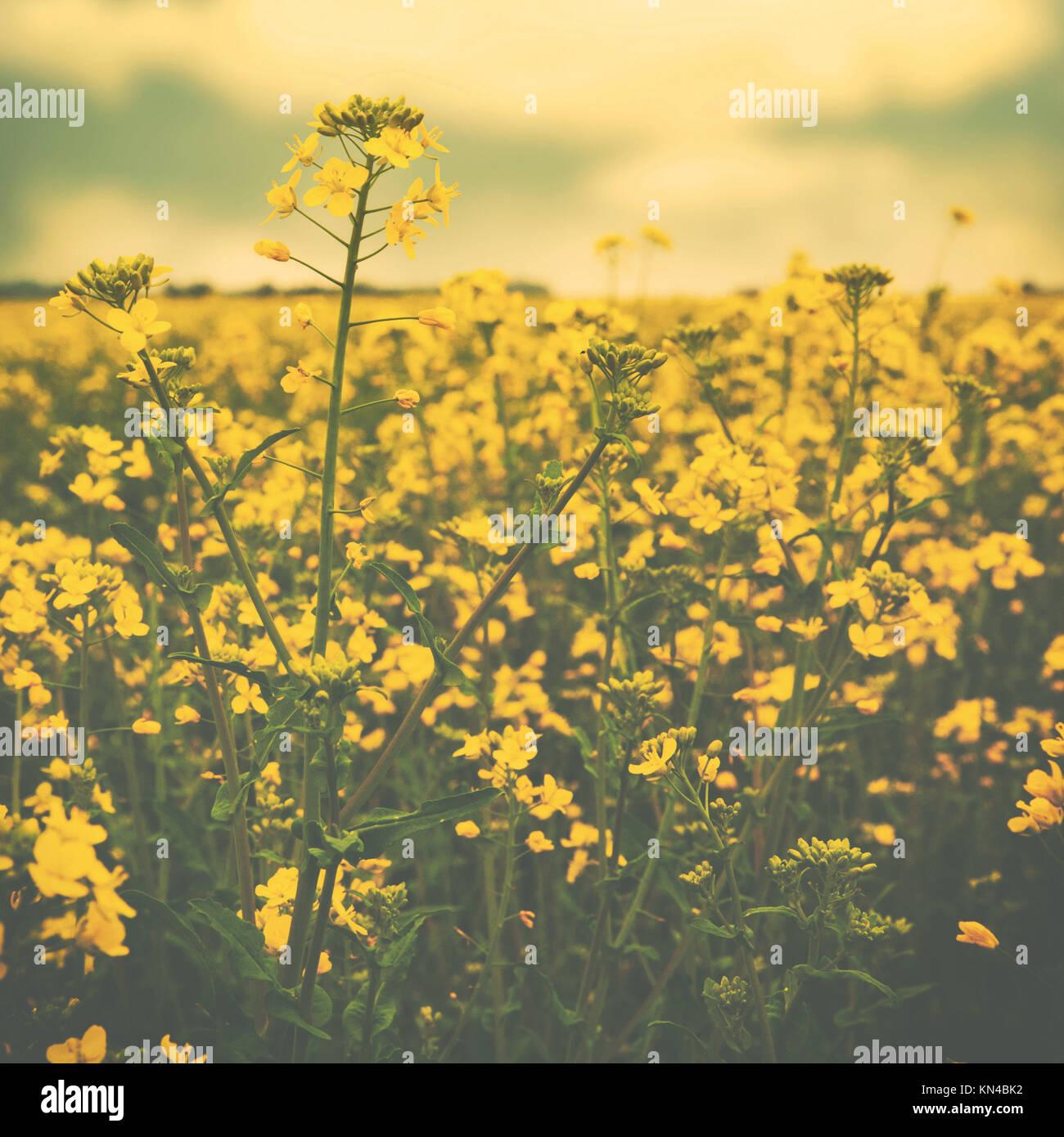 Flores Amarillas Silvestres En La Pradera Verano Ambiental