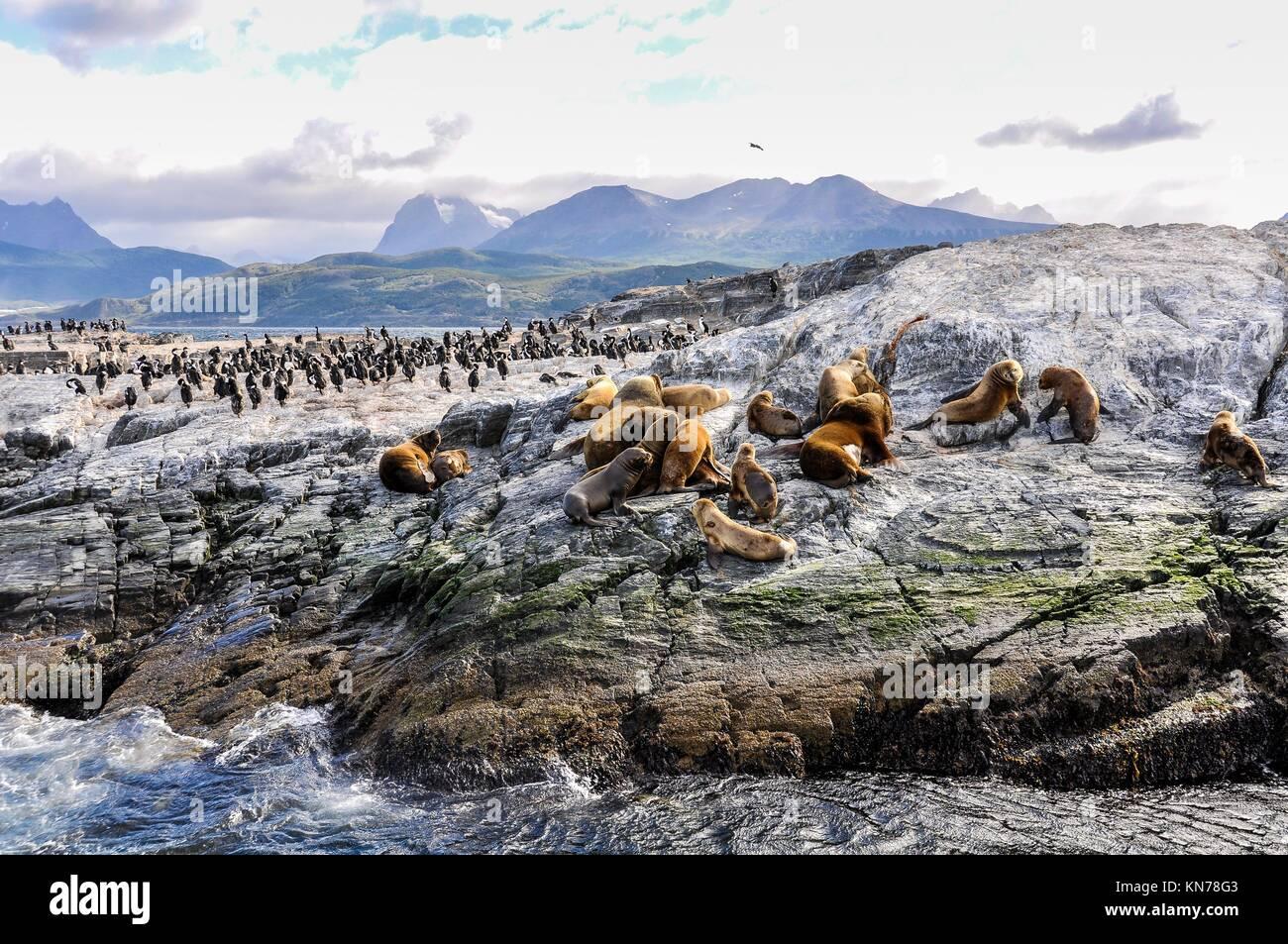 Un gran grupo de focas y leones marinos, el Canal de Beagle, Ushuaia, Argentina. Foto de stock