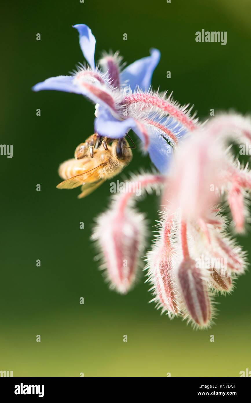 Bee cerca. Naturaleza de verano hermoso detalle con la polinización de las flores en el jardín. Concepto de hacer la miel, el ecosistema y la fauna de insectos. Foto de stock