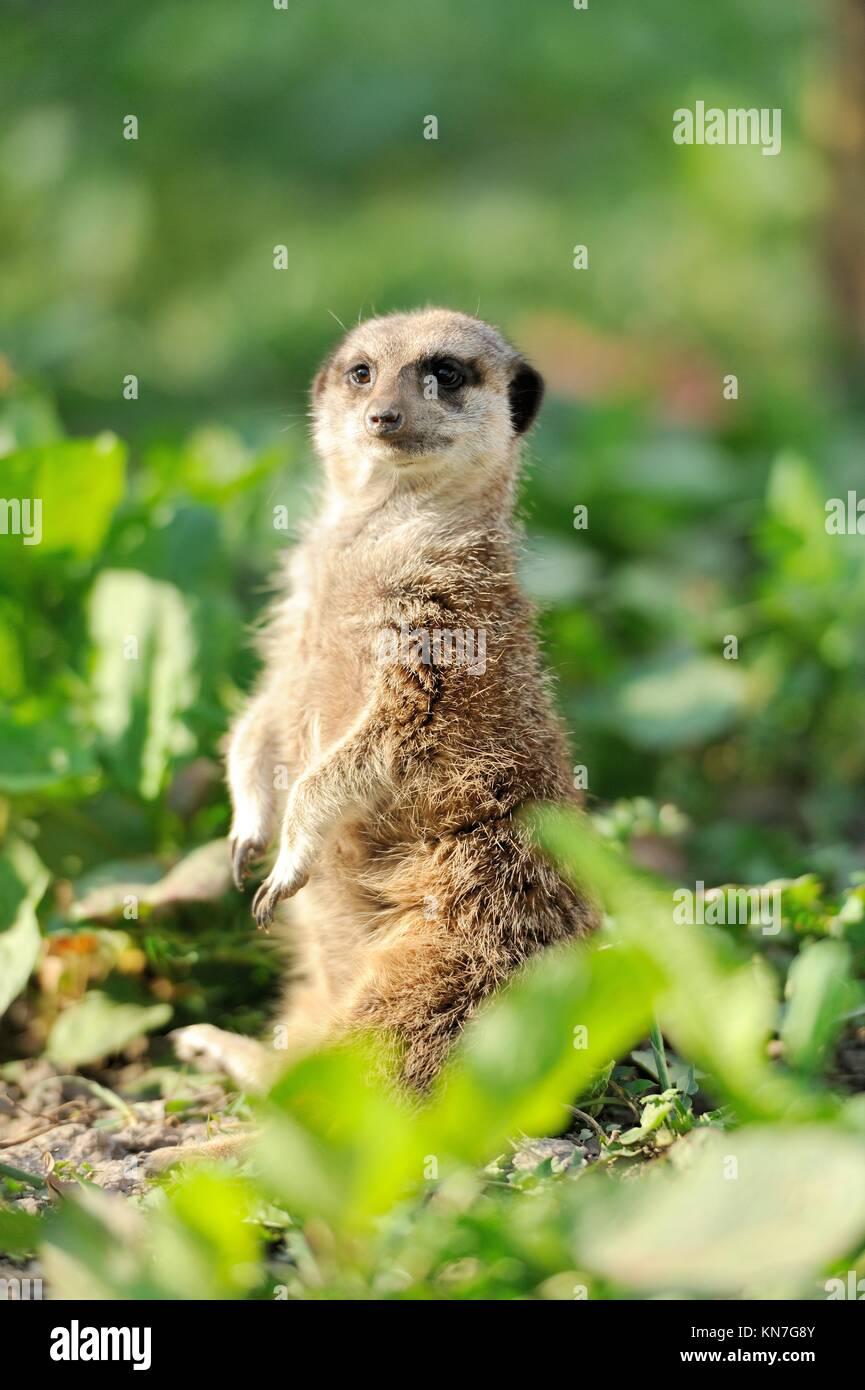 Un suricata o en posición vertical y mirando alerta Imagen De Stock