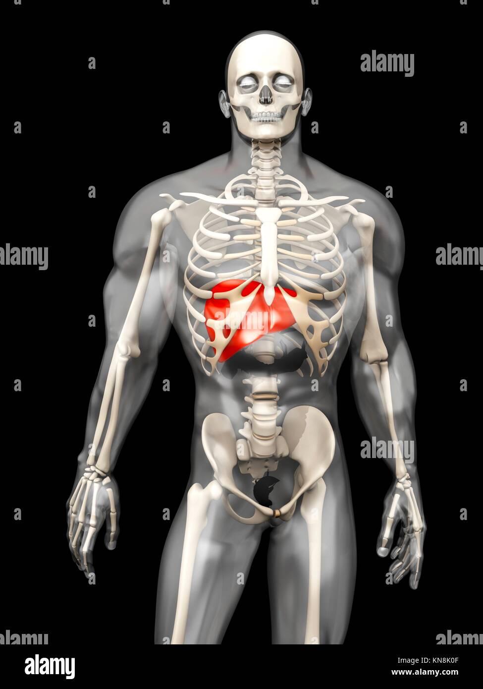 Visualización 3D de la anatomía humana. El Hígado en un semi ...