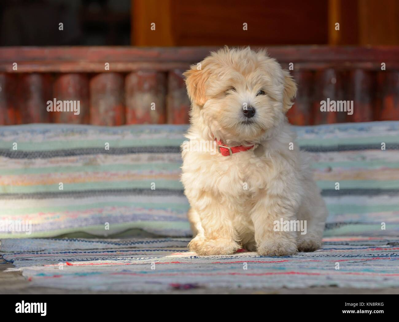 Cachorro pastor rumano en la parte frontal de la casa. Foto de stock