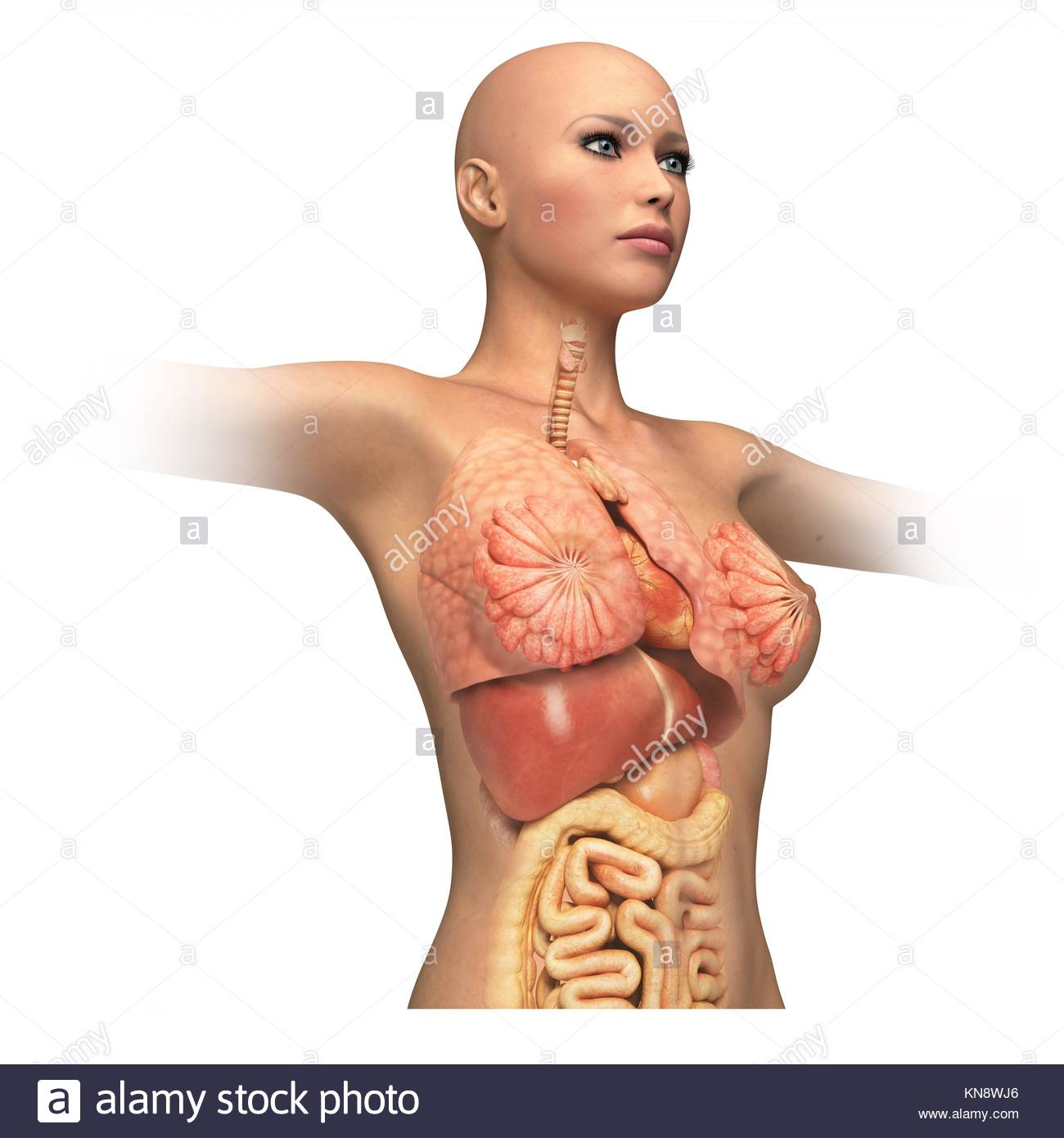 Cuerpo de mujer, con interior de órganos enlaces superpuestos. Sobre ...
