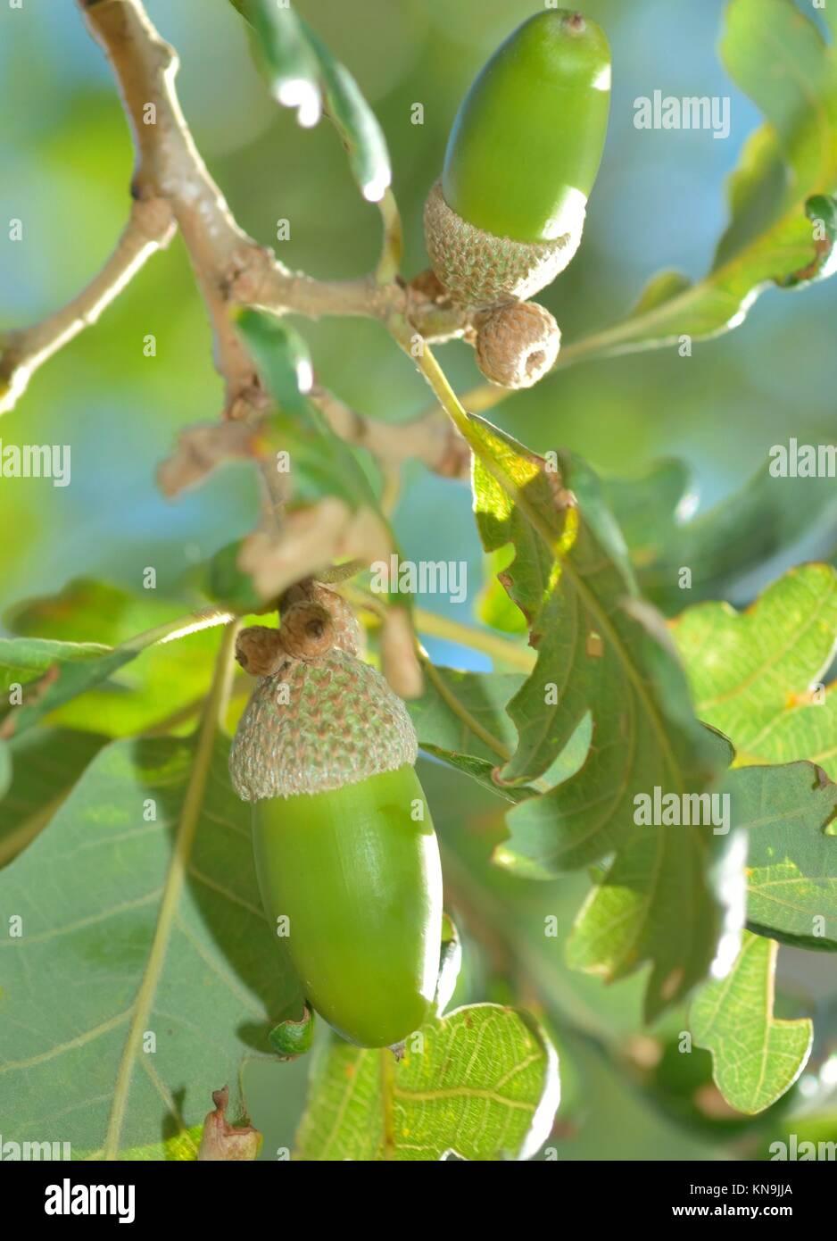 Rama de encina con bellotas verdes. Foto de stock