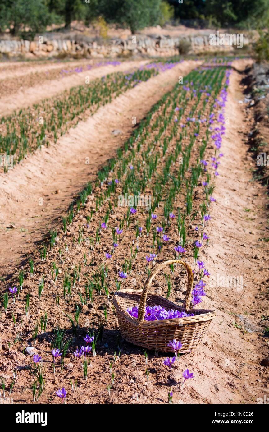 Cultivo De Azafran Valle Del Conjunto Cervia De Les Garrigues Les - Cultivo-azafran