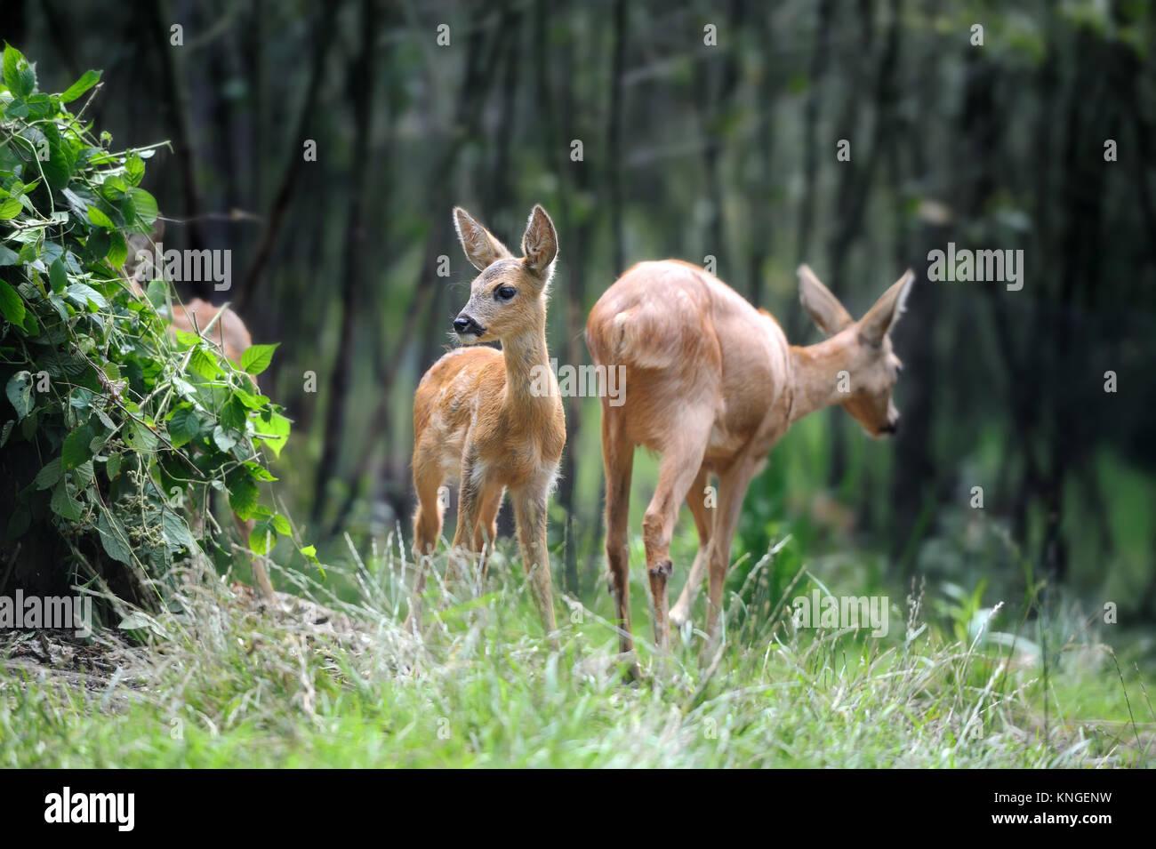 Joven ciervo en bosque de verano Foto de stock
