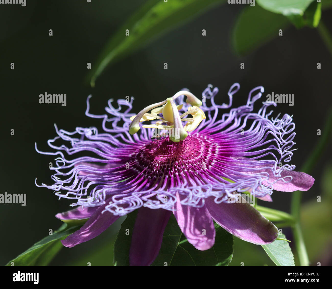 Violeta pasionaria (Passiflora incarnata) es también llamado Maypop, salvaje pasión vid silvestre, albaricoque, y pasionaria Foto de stock