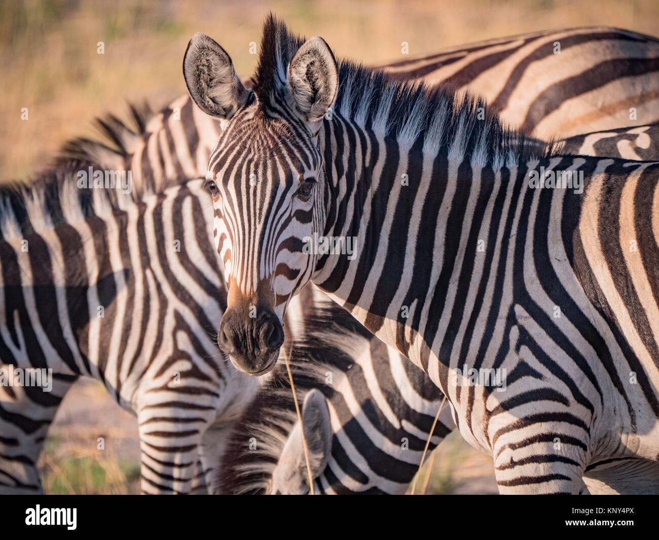 Botswana. Zebra. Imagen De Stock