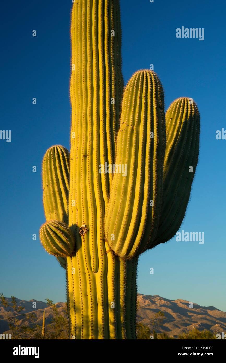 A lo largo de bosque de cactus saguaro, Unidad Nacional Saguaro Park-Rincon Unidad de montaña, Arizona. Imagen De Stock