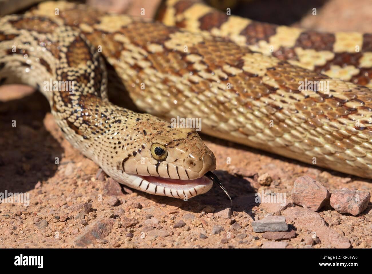 Serpiente Gopher, Monumento Nacional Organ Pipe Cactus, en Arizona. Imagen De Stock