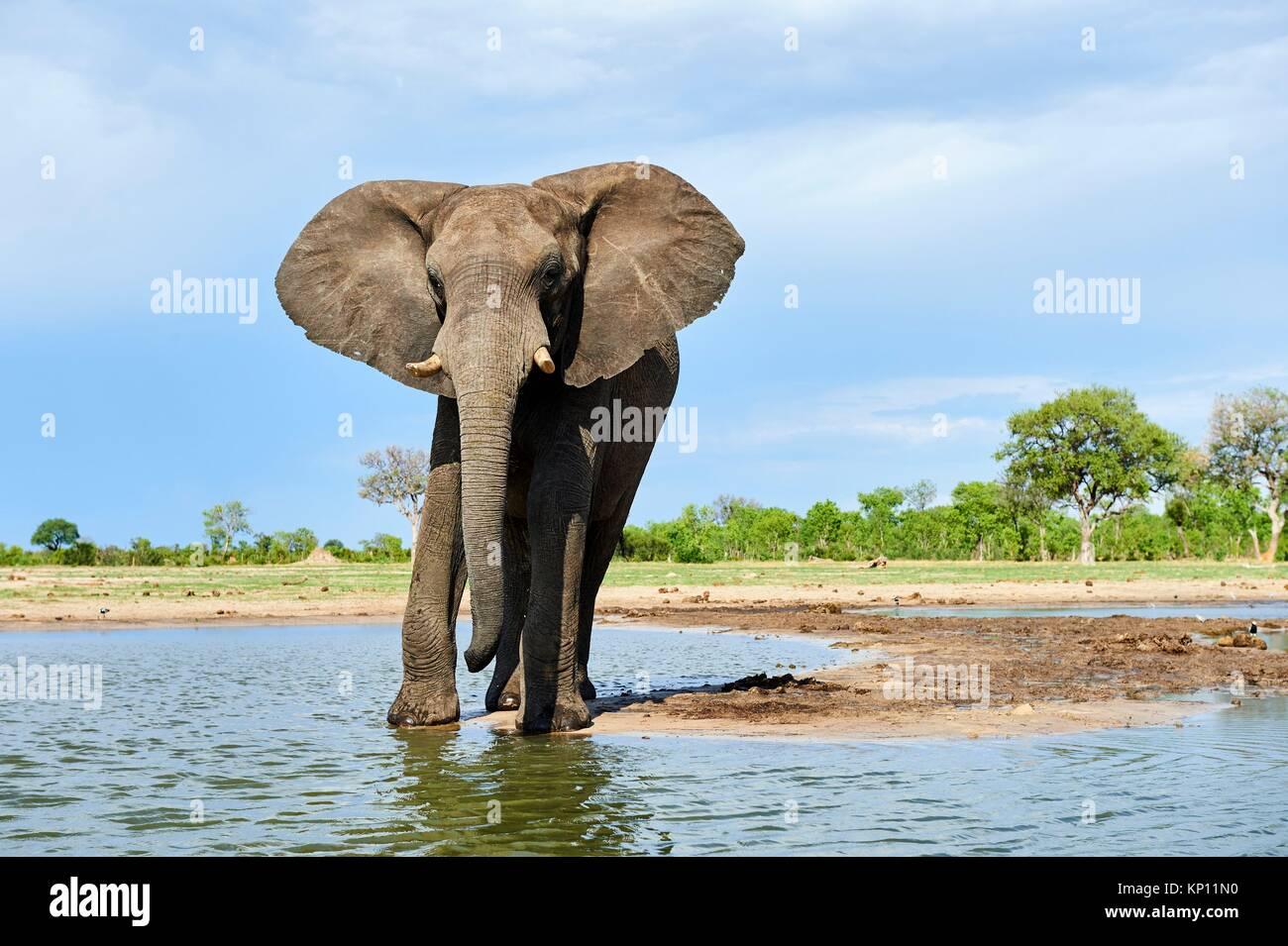 Elefante africano (Loxodonta africana), bebiendo en una watehole. El Parque Nacional de Hwange (Zimbabwe). Imagen De Stock