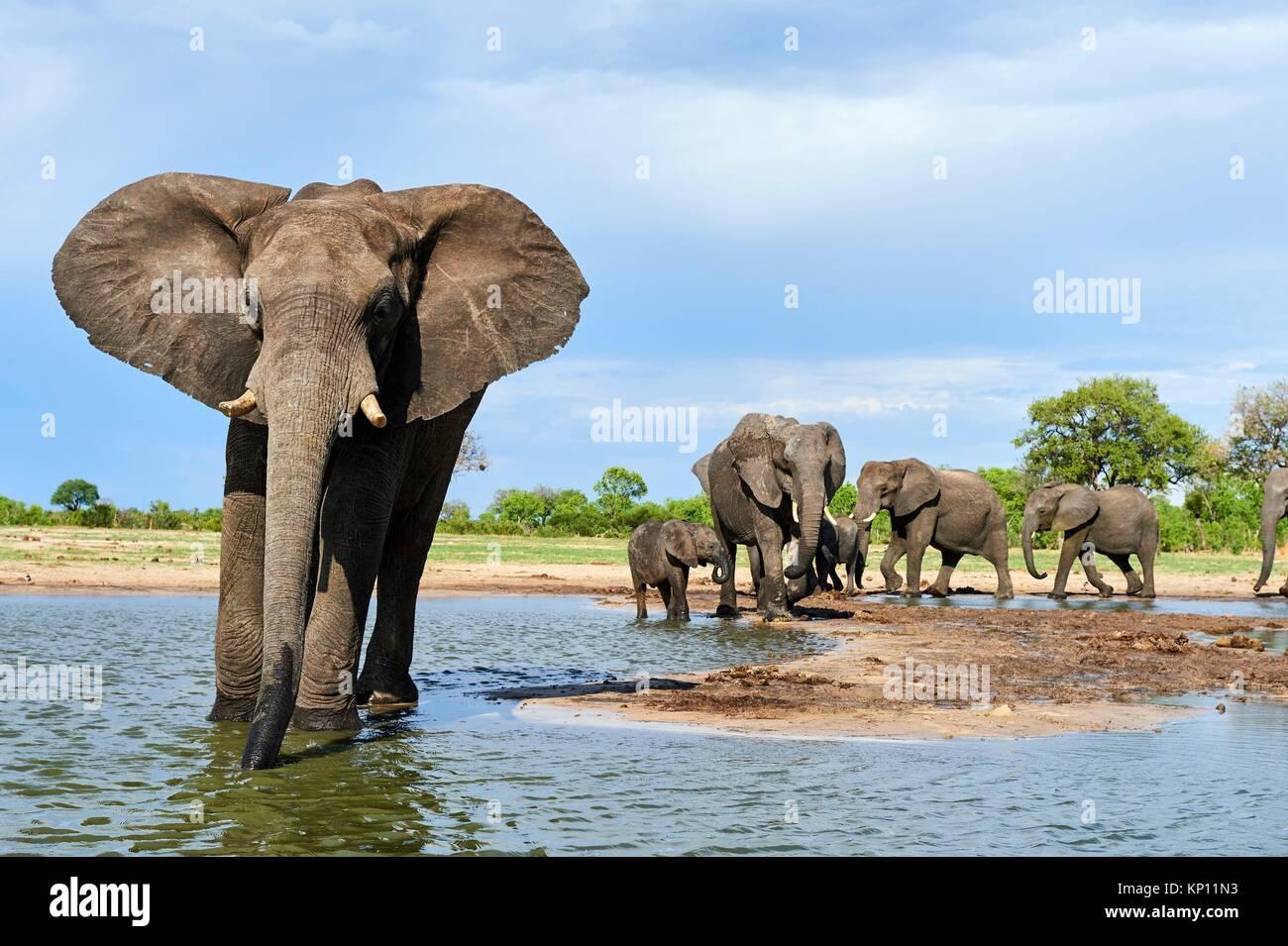 Grupo de elefante africano (Loxodonta africana), bebiendo en una watehole. El Parque Nacional de Hwange (Zimbabwe). Imagen De Stock