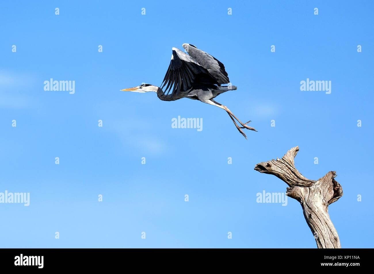 Garza real (Ardea cinerea) tomando vuelo desde rama muerta. El lago Kariba. Parque Nacional de Matusadona, Zimbabwe. Imagen De Stock