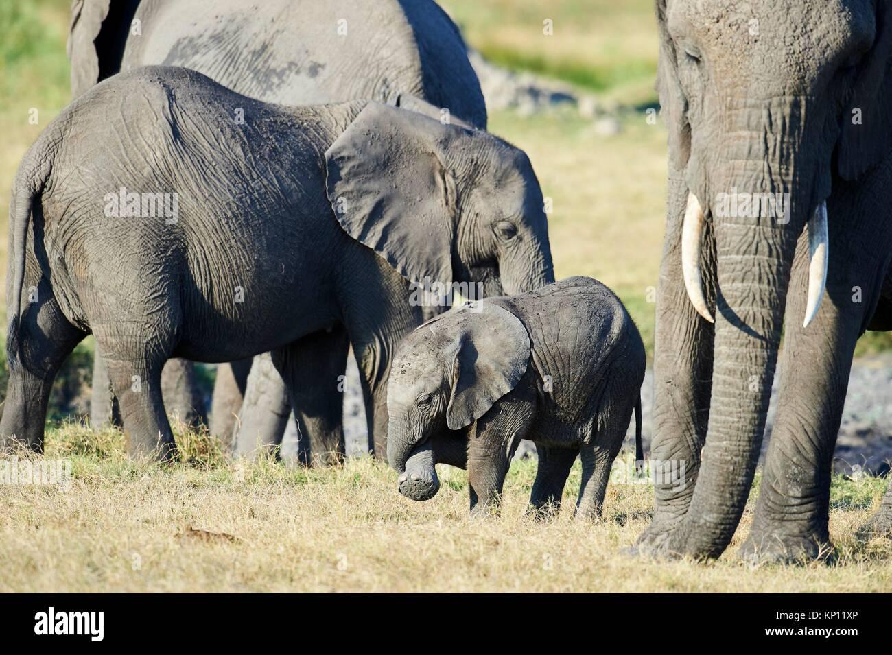 Familia de elefantes africanos con la madre y cría (Loxodonta africana), Duba Plains, el delta del Okavango, Botswana, Foto de stock